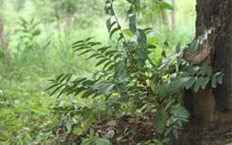 รักษาป่า